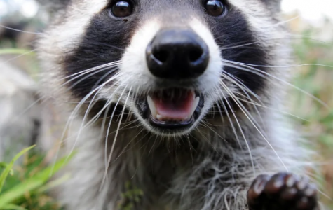 Raccoon: A Series of Prose Poems